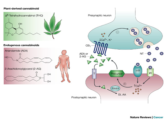 endocannabinoid-natur